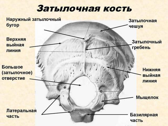Строение костей головы