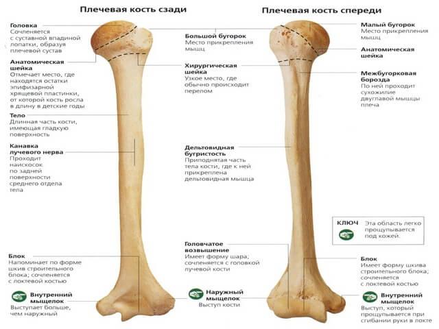 Анатомия плечевой кости