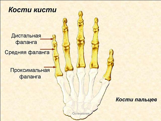 Схема руки