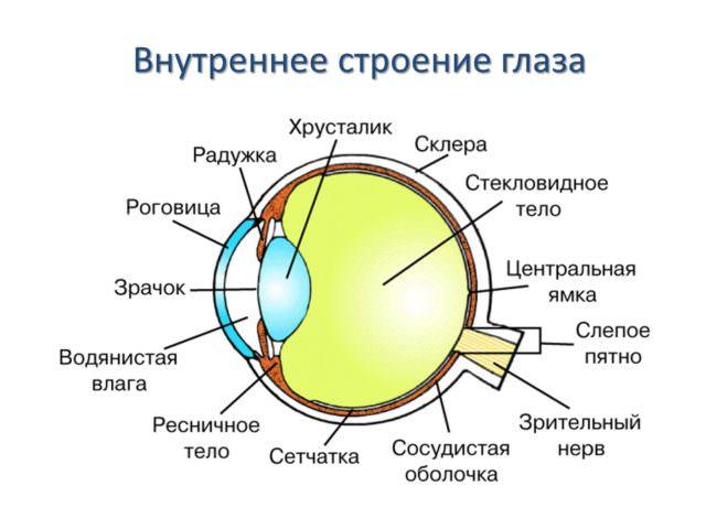 Устройство органа зрения