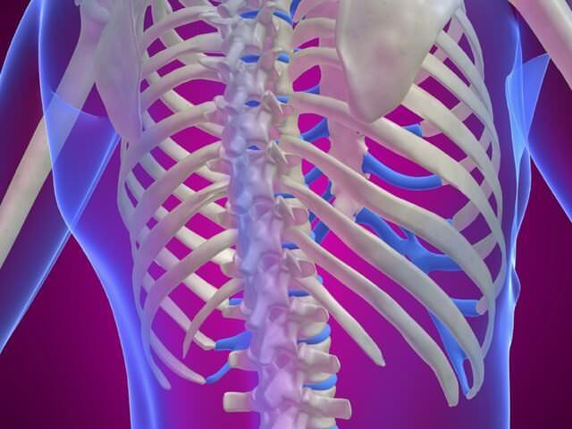 Анатомия ребер
