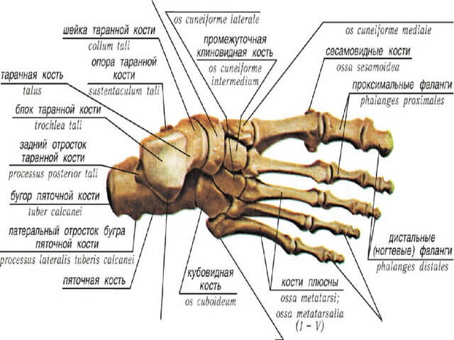 Анатомическое строение