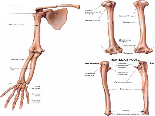 Строение человеческой руки