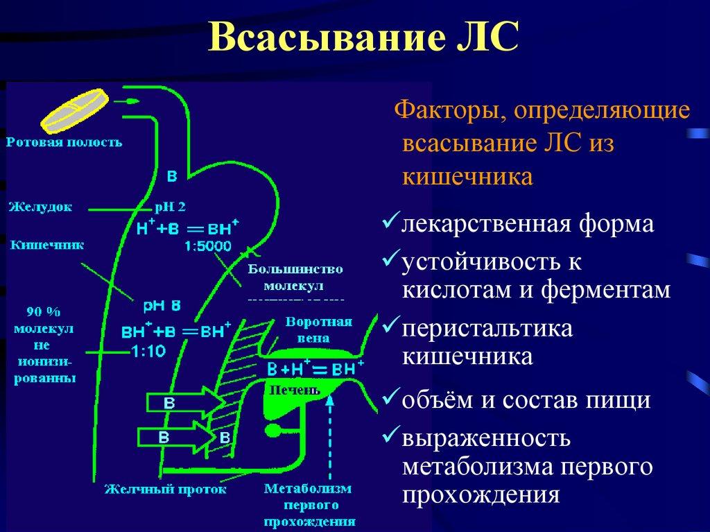 Всасывание в кишечнике