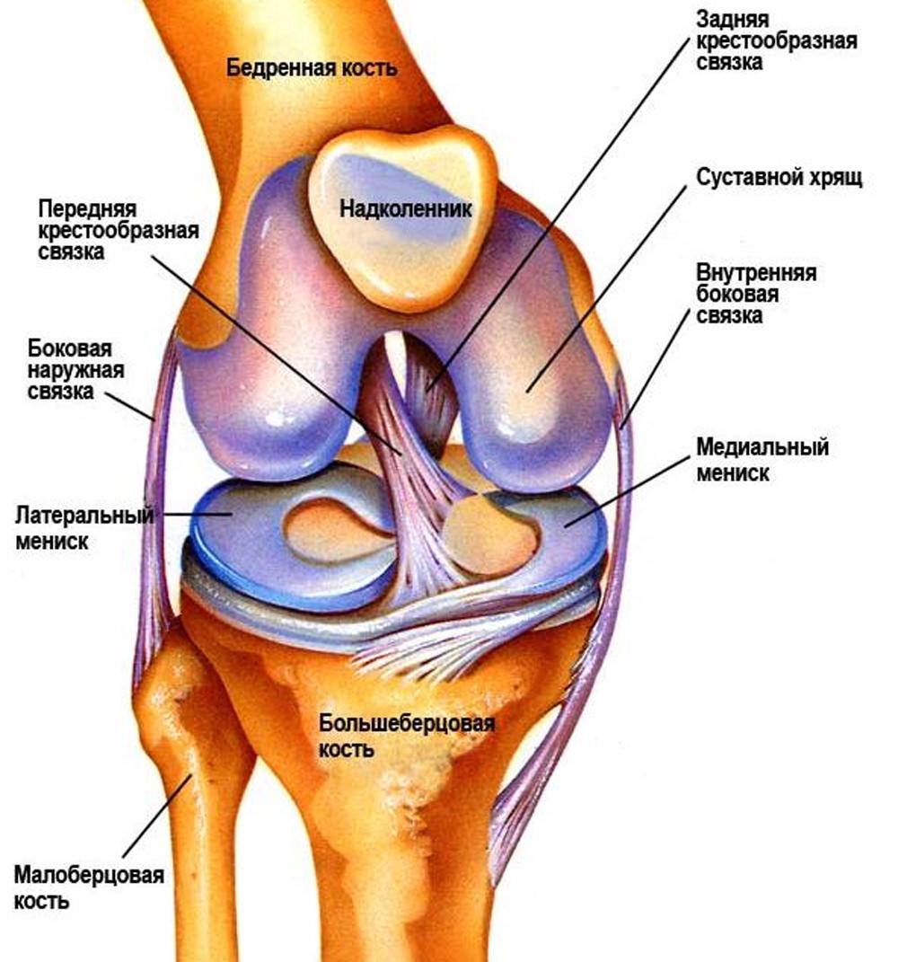 Строение коленна