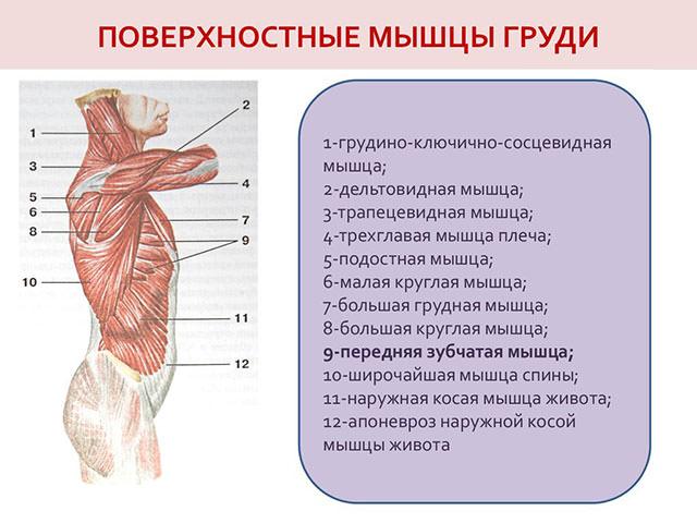 Поверхностные мышцы