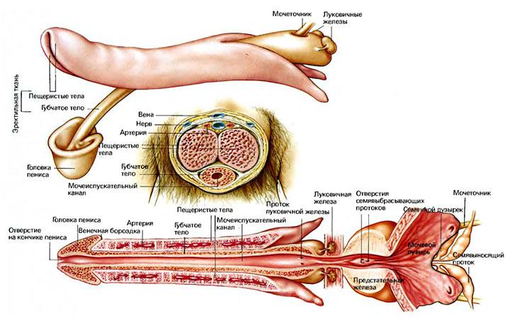 Анатомия полового члена