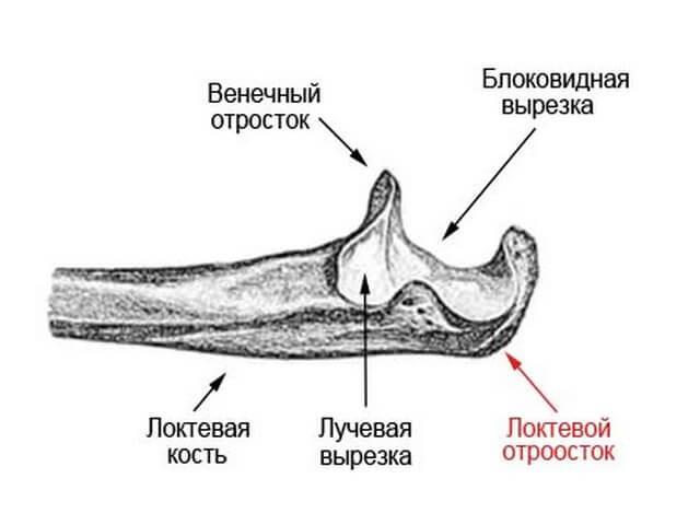 Составные части локтя