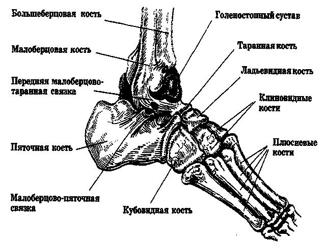 Анатомическое строение ступни