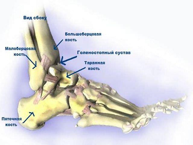 Схема и расположение костей голеностопа