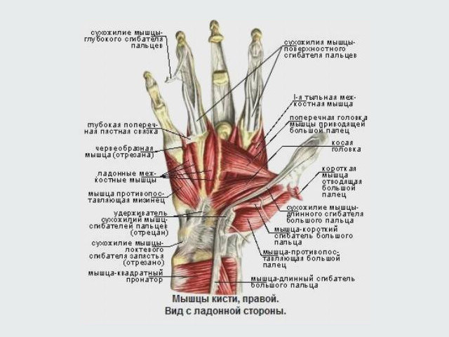Мышцы и сухожилия
