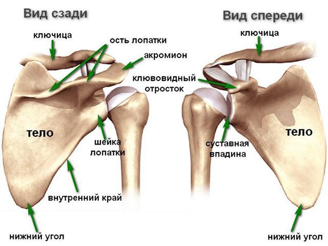 Расположение костей