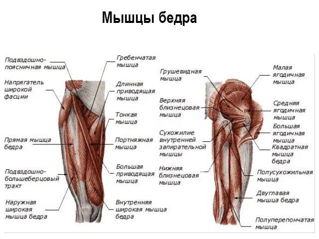 Расположение мышечной ткани
