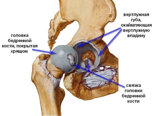 Анатомическое строение сустава