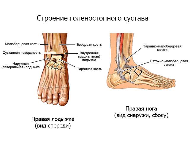 Строение сустава стопы