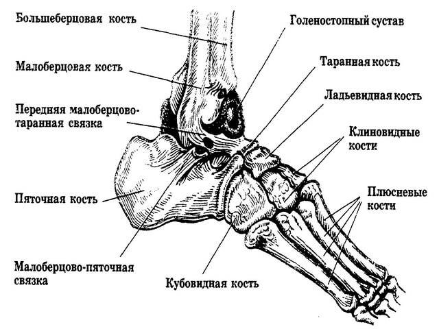 Анатомия человеческой стопы