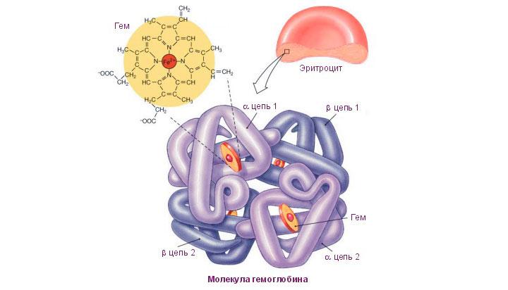 Формула и строение гемоглобина