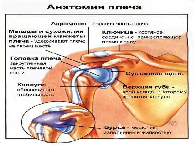 Строение человеческого плеча