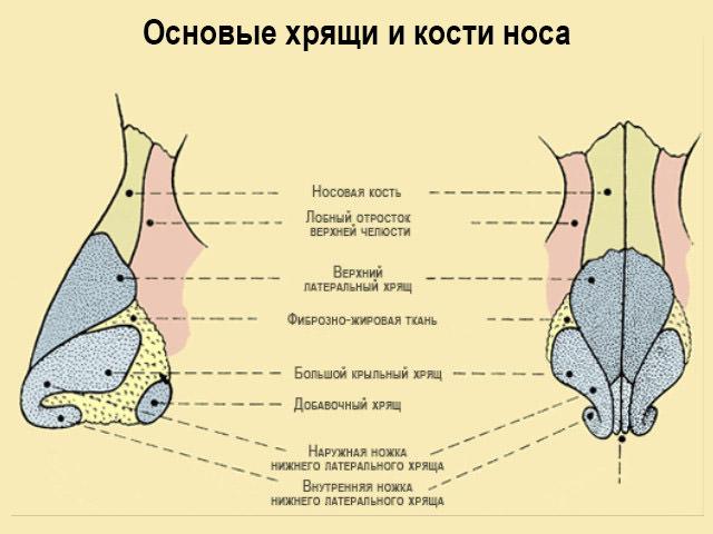 Строение костей и хрящей