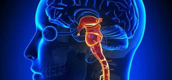 Анатомические особенности ствола головного мозга