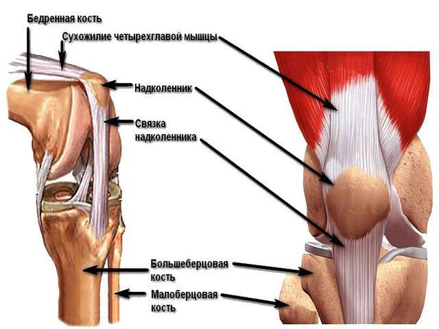 Строение сухожилий, костей, связок