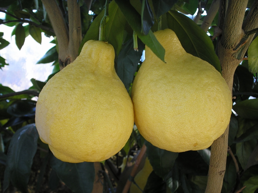 Лимон лумия