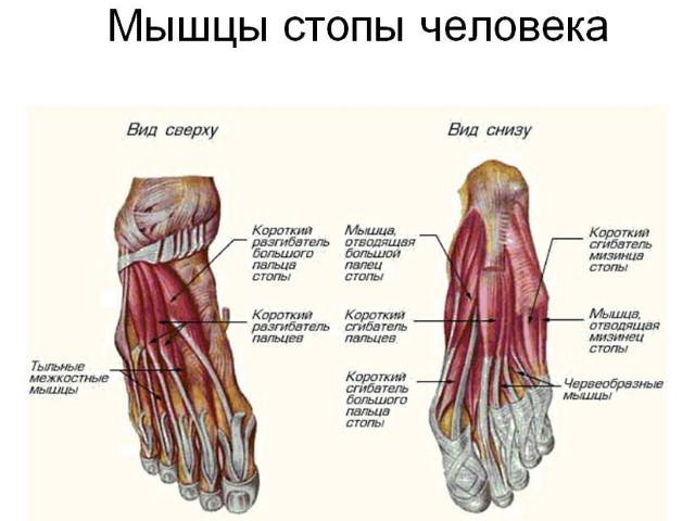 Расположение мышц на стопе