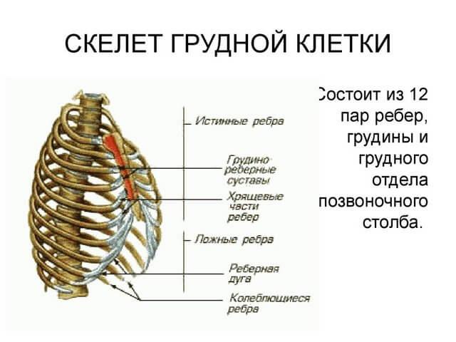 Скелет грудной клетки человека