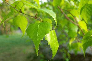 Молодые березовые листья помогут в лечении заболеваний печени