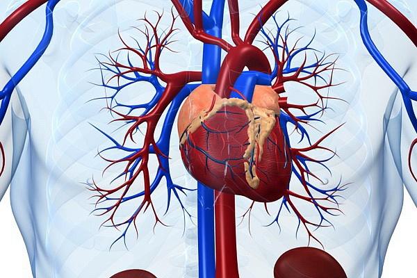Изнашиваются кровеносные системы и сердца