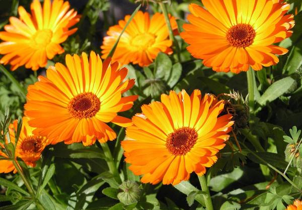 Цветки календулы помогают в лечении