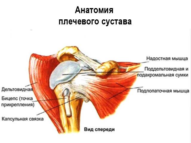Схема плечевого сустава
