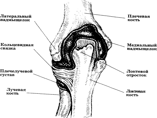 Схема строения средней части руки