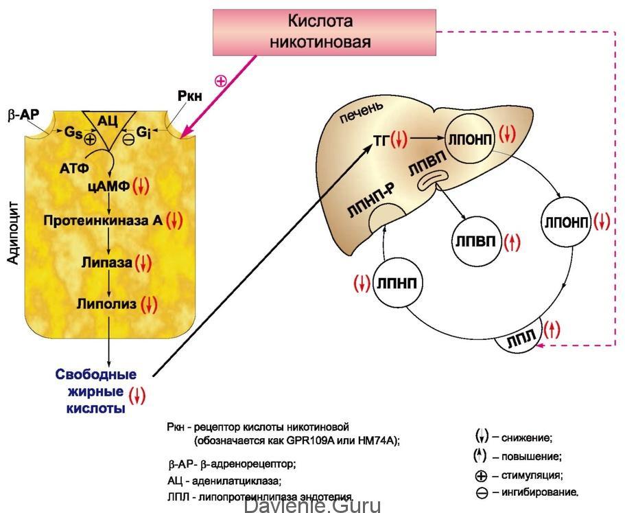 Фармакокинетика никотиновой кислоты
